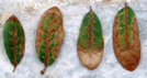 Examples of leaves with oak wilt.