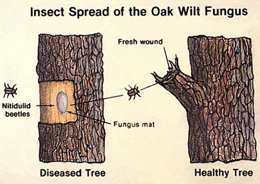 Oak wilt is a lethal disease with a high mortality rate.