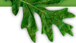 BioGreen Tree Care's oak wilt treatment will save trees.